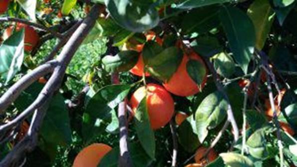 Riggio arance